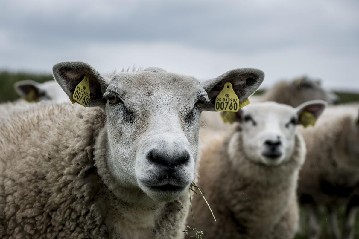 Tredje stop på turen var en gård på Mors, der opdrætter får.